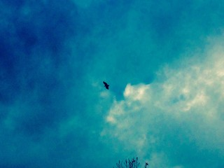 Crow Flying High In the Beautiful Blue