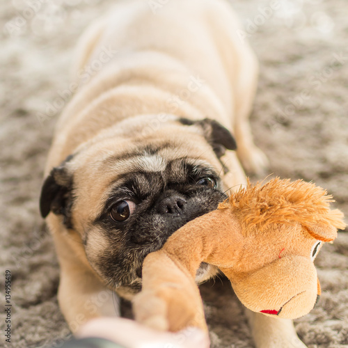 hund mops spielt in der wohnung stock photo and royalty free images on pic 134955489. Black Bedroom Furniture Sets. Home Design Ideas