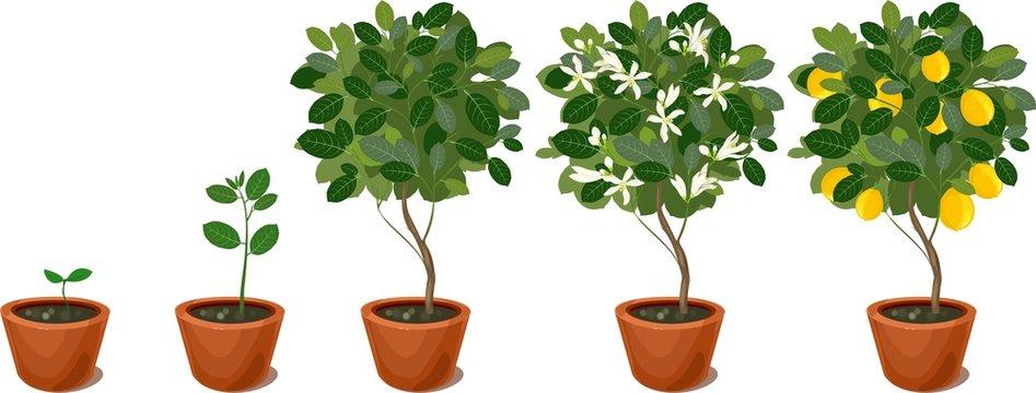Growing lemon tree. Life cycle plant