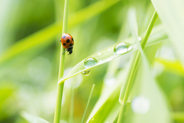 Ladybug meets raindrops on the grass.
