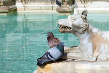 Pigeons on the wolf statue of Fonte Gaia fountain in Siena, Italy. The wolf is representing the mother-wolf of Remus and Romulus.