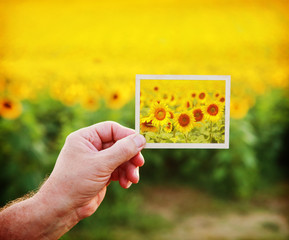 Hand holding a picture of sunflowers on a sunflower field backgr