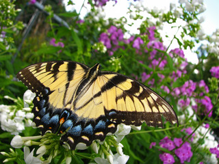 Close up of a tiger swallowtail butterfly resting on a cluster of white flowers.
