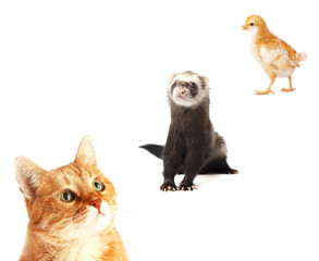 Adult red cat, Ferret in full growth and Yellow chicken isolated on white background. Collage