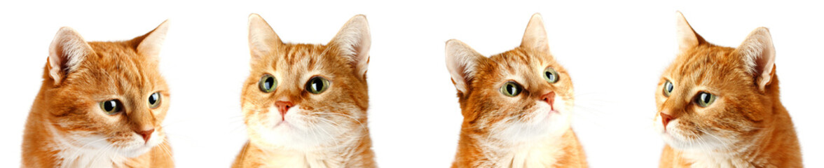 Adult red cat isolated on white background, collage cat muzzles.