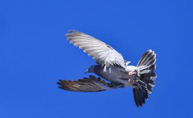 taklacı güvercin