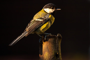 Great tit garden bird feeding in UK garden