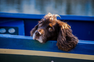 Young springel spaniel on a blue boat