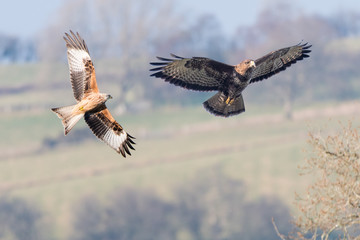 Comparison of red kite (Milvus milvus) and buzzard (Buteo buteo). Two similarly sized birds of prey seen in flight with undersides visible; digital composite of two images Fotoväggar
