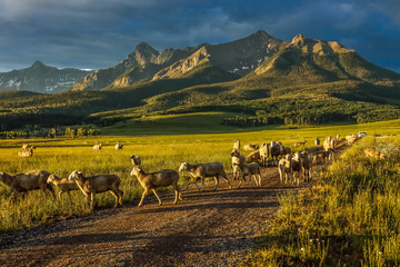 July 17, 2016 - Sheep rgraze on Hastings Mesa near Ridgway, Colorado from truck