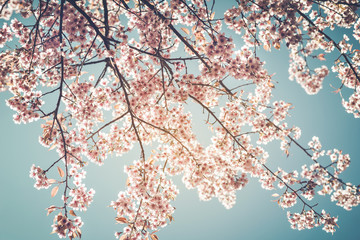 Wall Mural - Beautiful vintage sakura tree flower (cherry blossom) in spring on blue sky background. vintage color tone style.