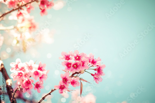 Wall mural Close-up of beautiful vintage sakura tree flower (cherry blossom) in spring. vintage color tone style.