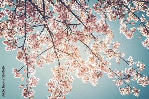 Wall mural Beautiful vintage sakura tree flower (cherry blossom) in spring on blue sky background. vintage color tone style.