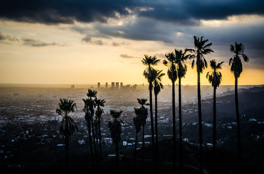 Palms Silhouetted against Hollywood