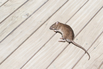 A dead rat laying across a wooden deck outside the house caught by the cat, decaying vermin carrier for disease requiring rodent extermination as unhygienic