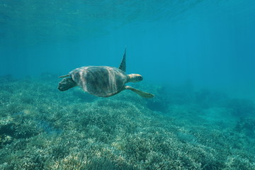 Green sea turtle underwater, Chelonia mydas, swimming over a coral reef, New Caledonia, south Pacific ocean