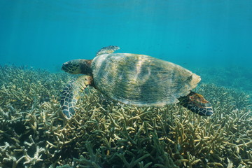 Hawksbill sea turtle underwater, Eretmochelys imbricata, over a coral reef, south Pacific ocean, New Caledonia