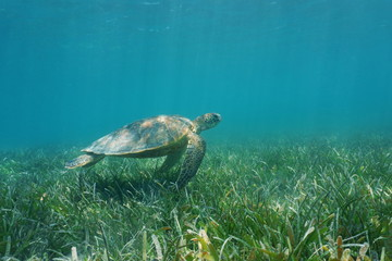 Underwater green sea turtle swims over grassy seabed, south Pacific ocean, lagoon of Grand Terre island in New Caledonia