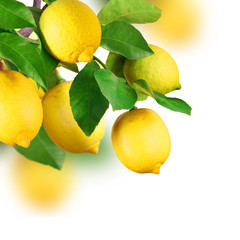 Zitronen am Baum, isoliert