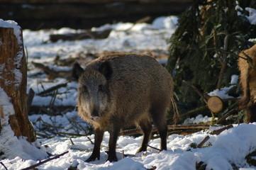 Wildschweine im Winter ( Sus scrofa )