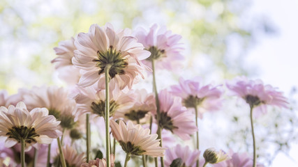 cosmos flowers with soften filter