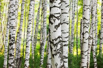 Spoed Foto op Canvas summer in sunny birch forest