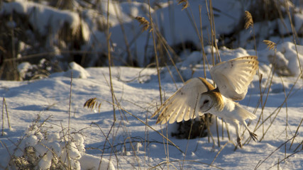 Barnowl in Flight at Farmington Bay Waterfowl Area Great Salt Lake Utah USA