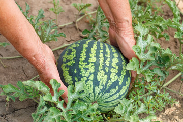 Hands holding watermelon in garden