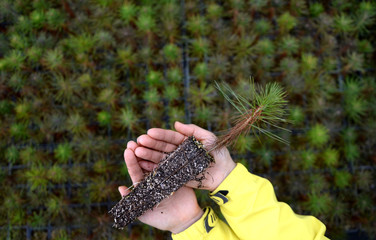 In your hand, the pine tree seedlings.