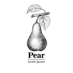 Pear, vintage engraved illustration.