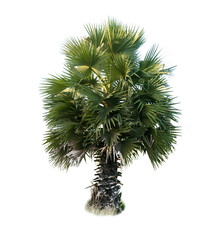 Tuinposter Palm boom tree on white background of Isolated