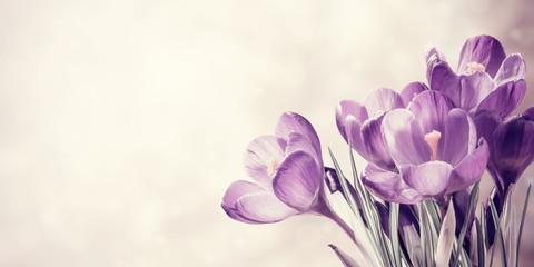Fototapeten Krokusse Vintage Spring Crocus Flowers