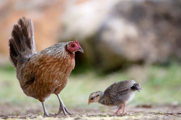 Verwilderte Henne mit Küken auf Kauai, Hawaii, USA.