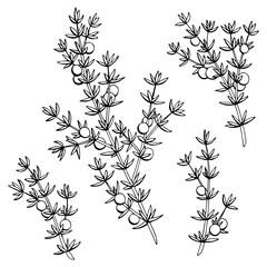 Juniper graphic black white isolated sketch illustration vector
