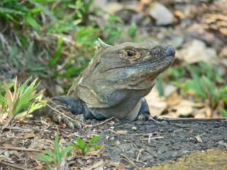 männlicher junger Leguan in Costa Rica
