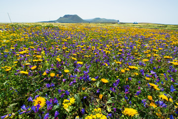 Field with carpet from spring flowers and sunny day, February-March Lanzarote