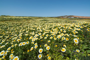 Field with carpet from spring flowers and sunny day, February-March on Lanzarote