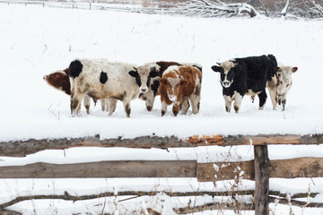 cow in snow landscape, grazing in the ,