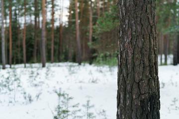 pine tree closeup in winter forest, shot wide open