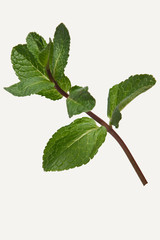 Branch of pepper mint isolated on white background