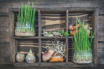 Gardening and planting concept. Seedlings, garden tools, tubers (bulbs) gladiolus and hyacinth, branch of trees with buds in wooden box. Toned and processing photo.
