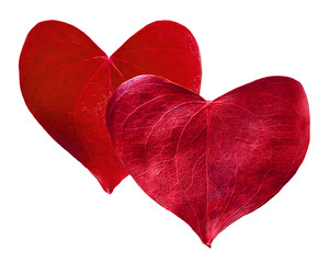 Two red leaves heart shaped. Valentine's Day concept.