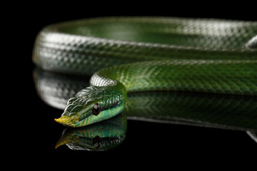 Green long nosed snake, Rhinoceros Ratsnake isolated on black background with reflection