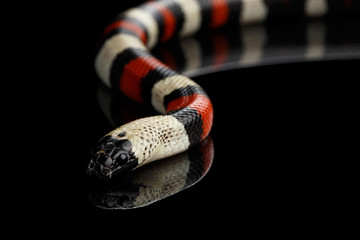 Campbell's milk snake, Lampropeltis triangulum campbelli, isolated on black background with reflection