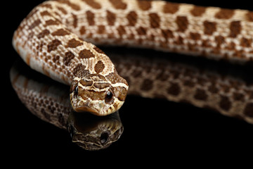 Closeup Western Hognose Snake, Heterodon nasicus isolated on black background with reflection