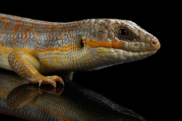Schneider's skink, eumeces schneideri on isolated black background with reflection, wild reptile