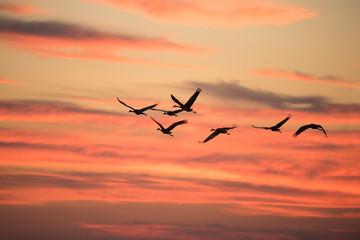 Wintering Sandhill Cranes in flight over Paynes Prairie State