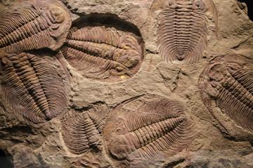 Photo sur Toile Les Textures fossil trilobite imprint in the sediment