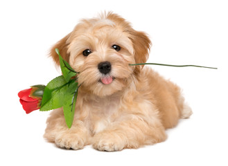 Happy lover havanese puppy dog lying with an artificial red rose in her mouth