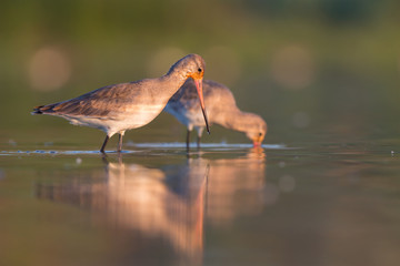 Black-tailed godwits (Limosa limosa)